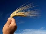 MANO CON ESPIGA DE TRIGO1208060742210964-harvest
