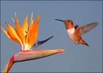 rufous_hummingbird