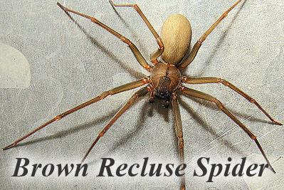 Spider Brown Recluse Ara 209 A Caf 201 Reclusa Remigio Sol