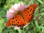 MARIPOSA MONARCA Y FLOR ROSA thorn_flower_today_06