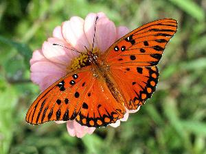 MARIPOSA MONARCA Y FLOR ROSA thorn_flower_today_06