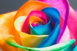ROSE RAINBOW tumblr_lpiw7yS1U01qmr04wo1_1280