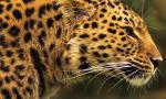LEOPARDO AmurLeopard-1600x600px