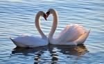Mute swan heart