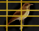 nightingale_in_a_golden_cage_by_iceclanwolfwarrior-d3cjrrl