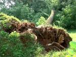 FALLEN tree_t618 ARBOL CAIDO