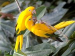 AVES AMARILLAS - YELLOW BIRDS