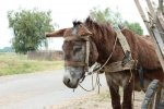 4916425-a-cute-donkey-near-a-wooden-cart--shot-in-dobrogea-romania