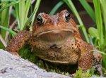 SAPO AMERICANO American Toad