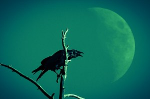 Large Black Raven Crow and Rising Moon at Yellowstone