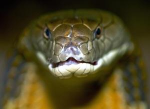 snake-pictures-king-cobra-3